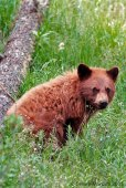 Little-Grizzly