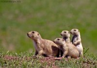 Prarie-Dogs-01