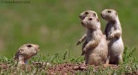 Prarie-Dogs